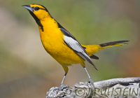 Birds in North America - Click to visit the Gallery of Birds by Joachim Ruhstein